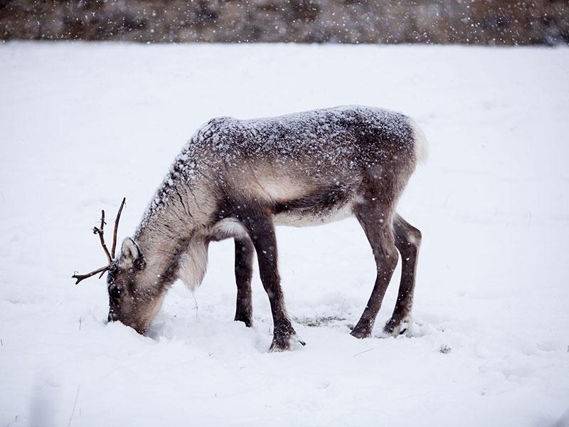 Real Reindeer | Reindeer for Hire