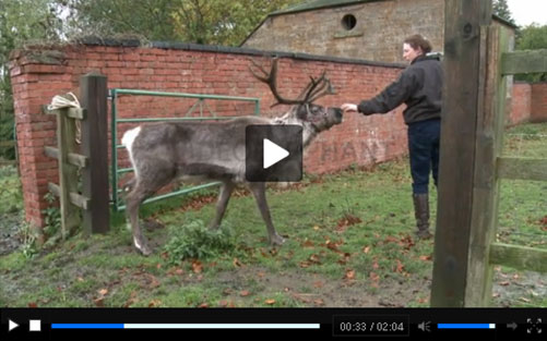 Real Reindeer Video Screen shot